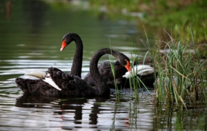 Black Swan Wallpapers HD