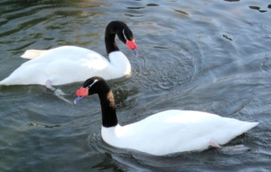 Black Necked Swan HD