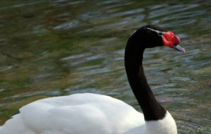 Black Necked Swan Images
