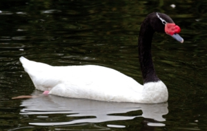 Black Necked Swan Photos