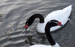 Black Necked Swan Pictures