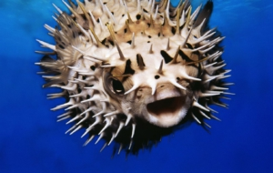 Blowfish HD Wallpaper