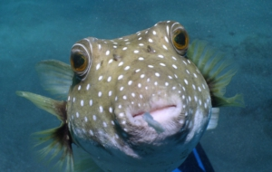 Blowfish High Quality Wallpapers