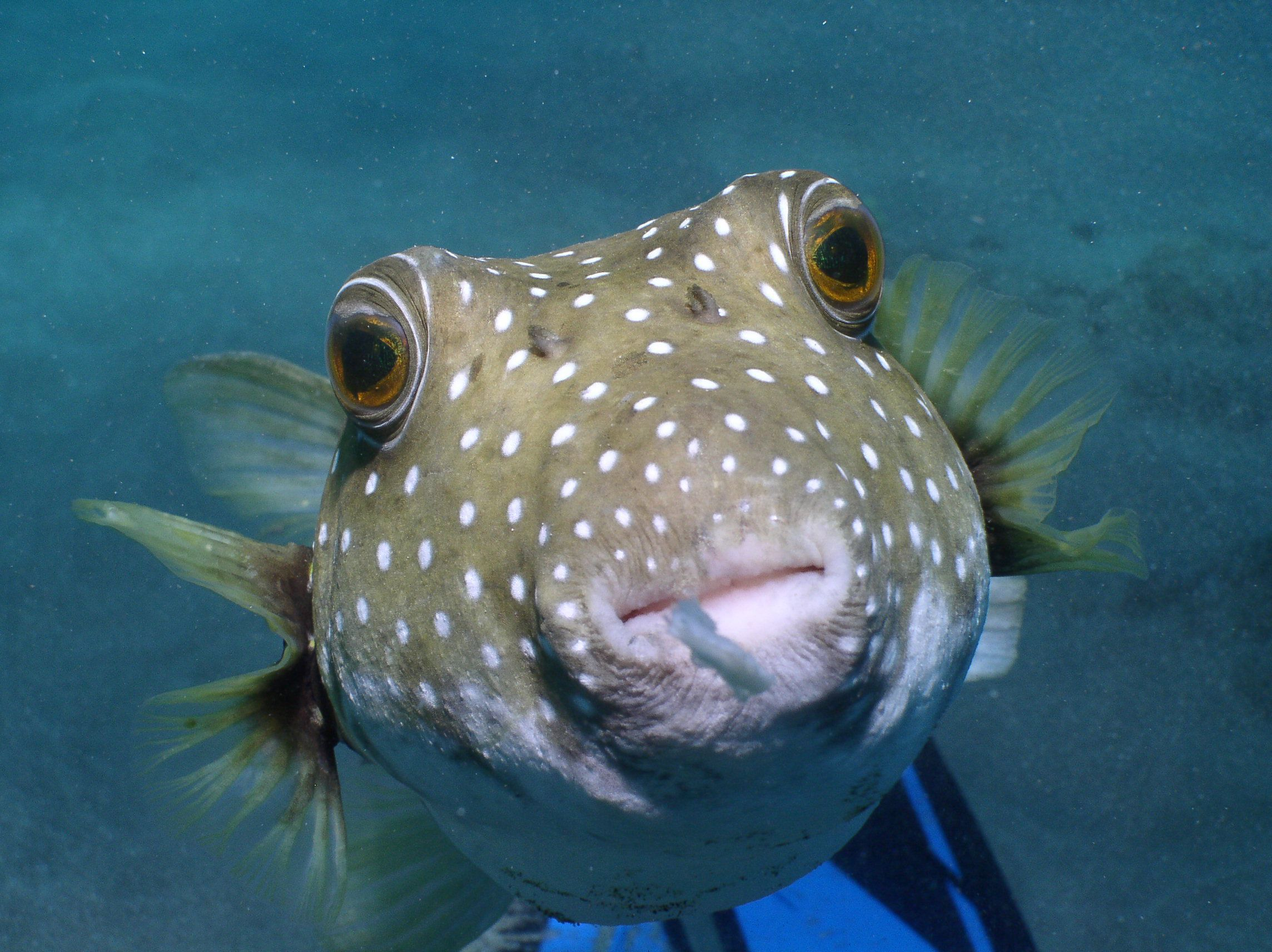 Blowfish wallpapers backgrounds for A puffer fish