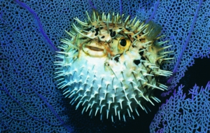 Blowfish Photos