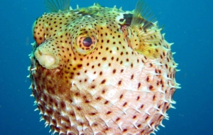 Blowfish Pictures
