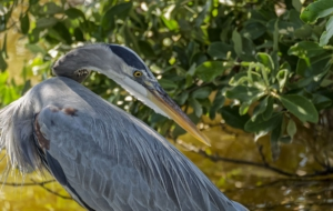Blue Heron Background