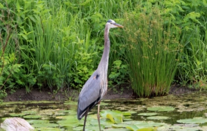 Blue Heron HD