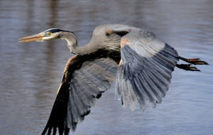Blue Heron HD Desktop