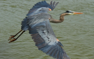 Blue Heron High Definition Wallpapers