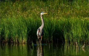 Blue Heron Widescreen