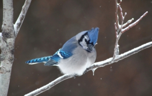 Blue Jay Background