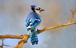 Blue Jay HD Background