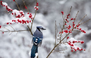 Blue Jay HD Desktop