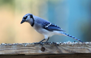 Blue Jay Photos