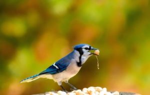 Blue Jay Pictures