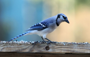 Blue Jay Wallpaper