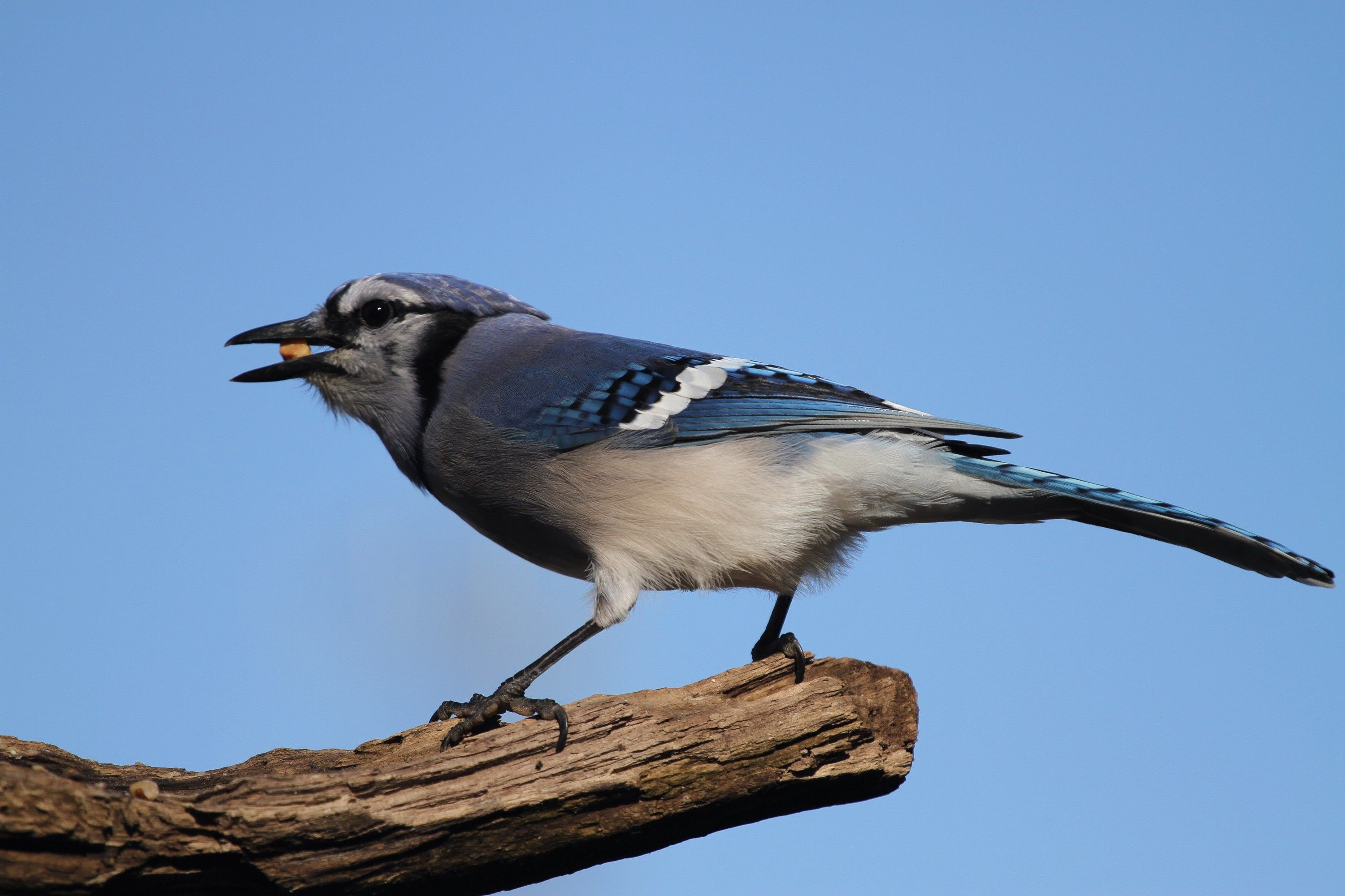 blue jay wallpapers backgrounds