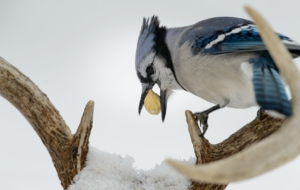 Blue Jay Widescreen