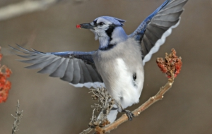 Blue Jay For Desktop