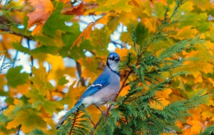 Blue Jay Full HD