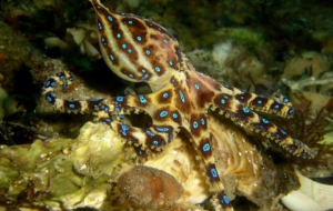 Blue Ringed Octopus HD Desktop