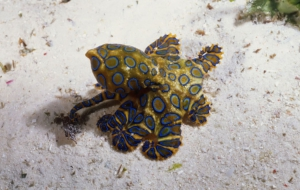 Blue Ringed Octopus HD Wallpaper