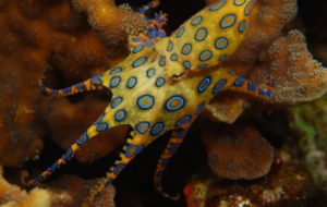 Blue Ringed Octopus Images