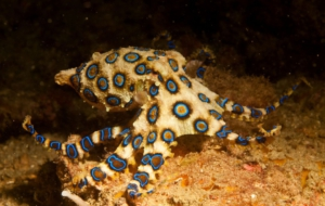 Blue Ringed Octopus Pictures
