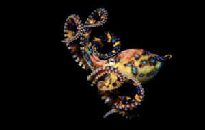 Blue Ringed Octopus For Desktop