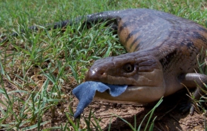 Blue Tongue Skink Widescreen