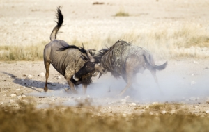 Blue Wildebeest Wallpapers