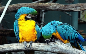 Blue And Yellow Macaw Background