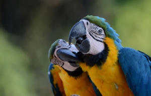 Blue And Yellow Macaw Computer Wallpaper