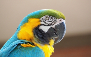 Blue And Yellow Macaw Free Download