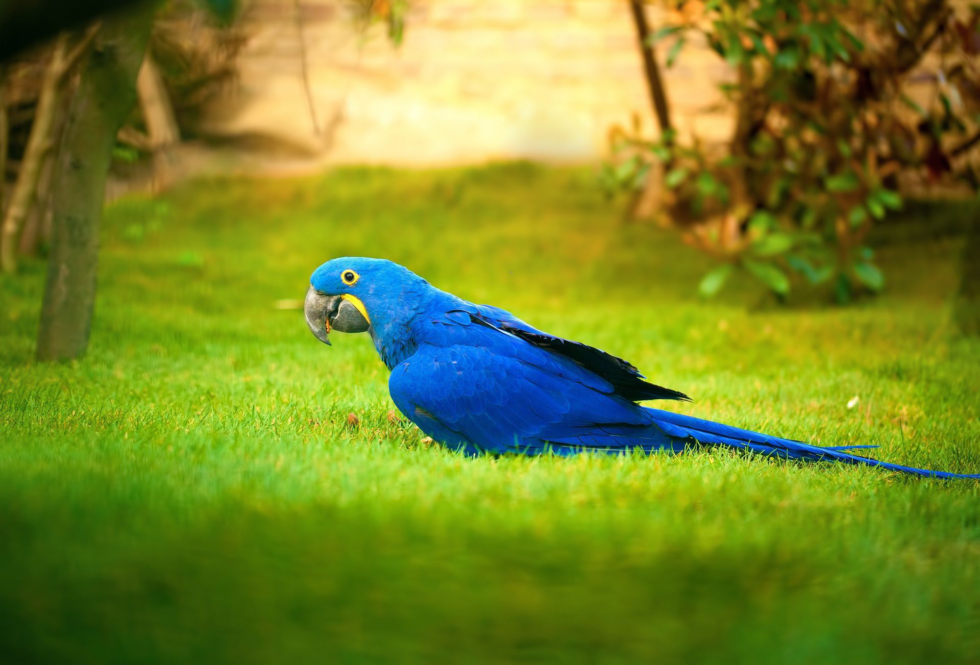 Blue and gold macaw wallpaper for Gold bird wallpaper