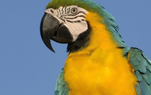 Blue And Yellow Macaw High Definition