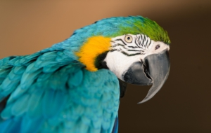 Blue And Yellow Macaw For Desktop