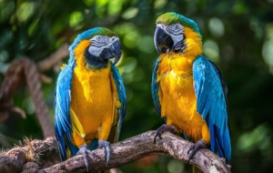 Blue And Yellow Macaw For Desktop Background