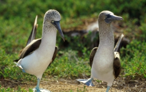 Blue Footed Booby Background
