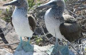 Blue Footed Booby Computer Wallpaper