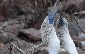 Blue Footed Booby Desktop