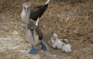 Blue Footed Booby HD