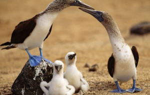 Blue Footed Booby Photos