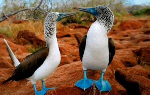 Blue Footed Booby Pictures