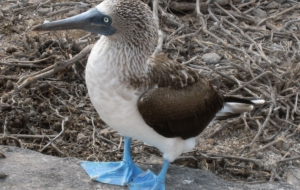Blue Footed Booby Wallpapers
