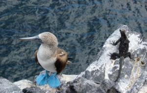 Blue Footed Booby Widescreen