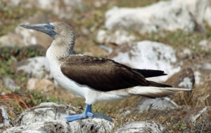 Blue Footed Booby Full HD