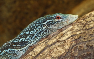 Blue Spotted Tree Monitor HD Background