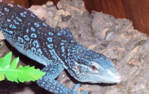 Blue Spotted Tree Monitor HD Wallpaper